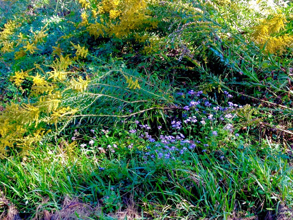 Native Gulf Coast butterfly plants, golden rod and mist flower.