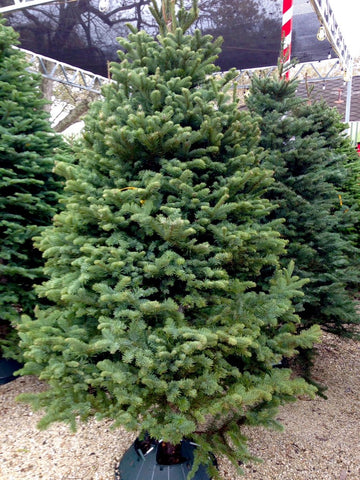Noble Fir, a perfect Christmas tree to someone.