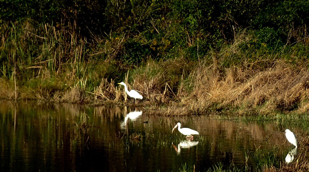 Left to Right: Great White Egret, American White Ibis, Snowy Egret