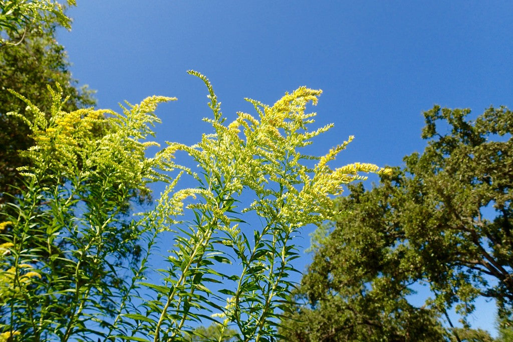 Goldenrod in bloom. Mist flower and Goldenrod are monarch favorites for nectar during the southern migration.