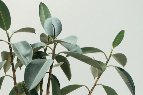 Rubber Tree Plant, Ficus elastica, Benefits of Indoor Plants, The Botanical Journey