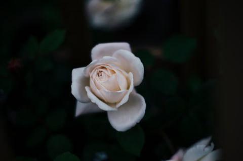 White English Rose