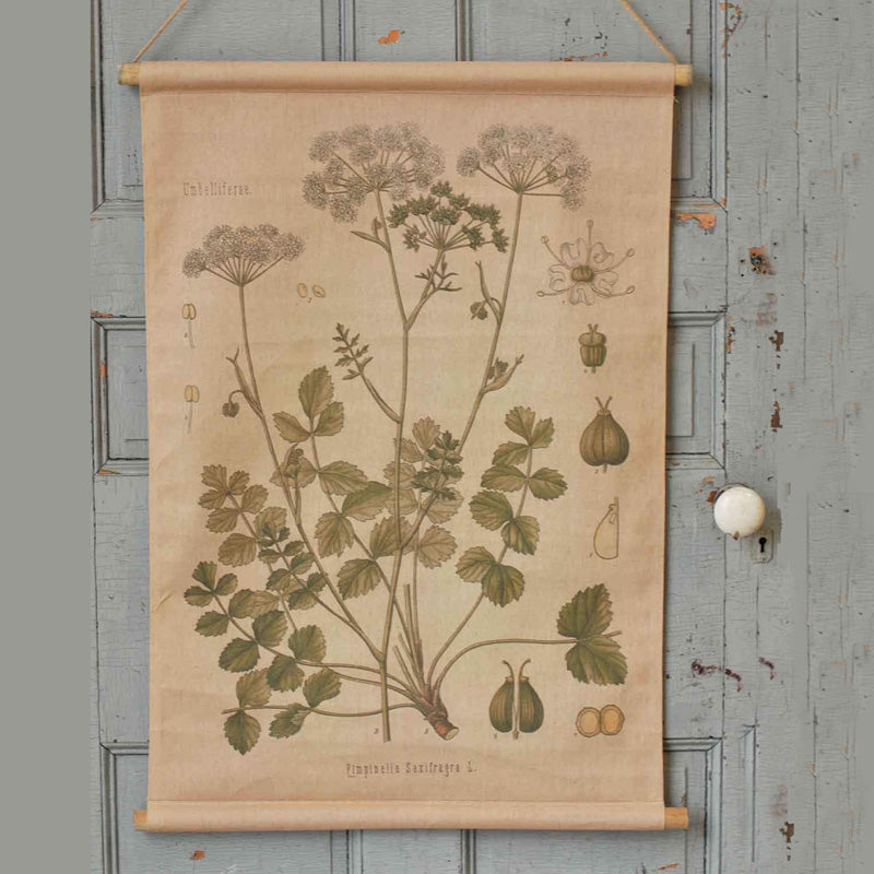 Botanical Illustration Canvas Scroll, Pimpinella, Vintage Flower Illustration, Vintage Banner