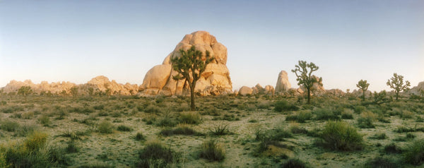 Joshua trees in desert at sunrise, Joshua Tree National Park, San Bernardino County, California, USA