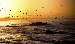 Flock of seagulls fishing in waves at sunset, Morbihan, Brittany, France