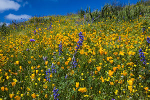 California poppies (Eschscholzia californica) and Canterbury bells (Campanula medium) wildflowers growing in a field, Diamond Valley Lake, California, USA