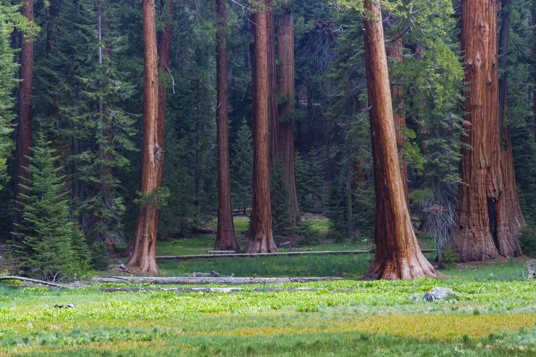Giant Sequoia trees in a forest, Sequoia National Park, California, USA