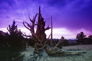 Ancient Bristlecone Pine Forest in the White Mountains, Inyo County, California, USA