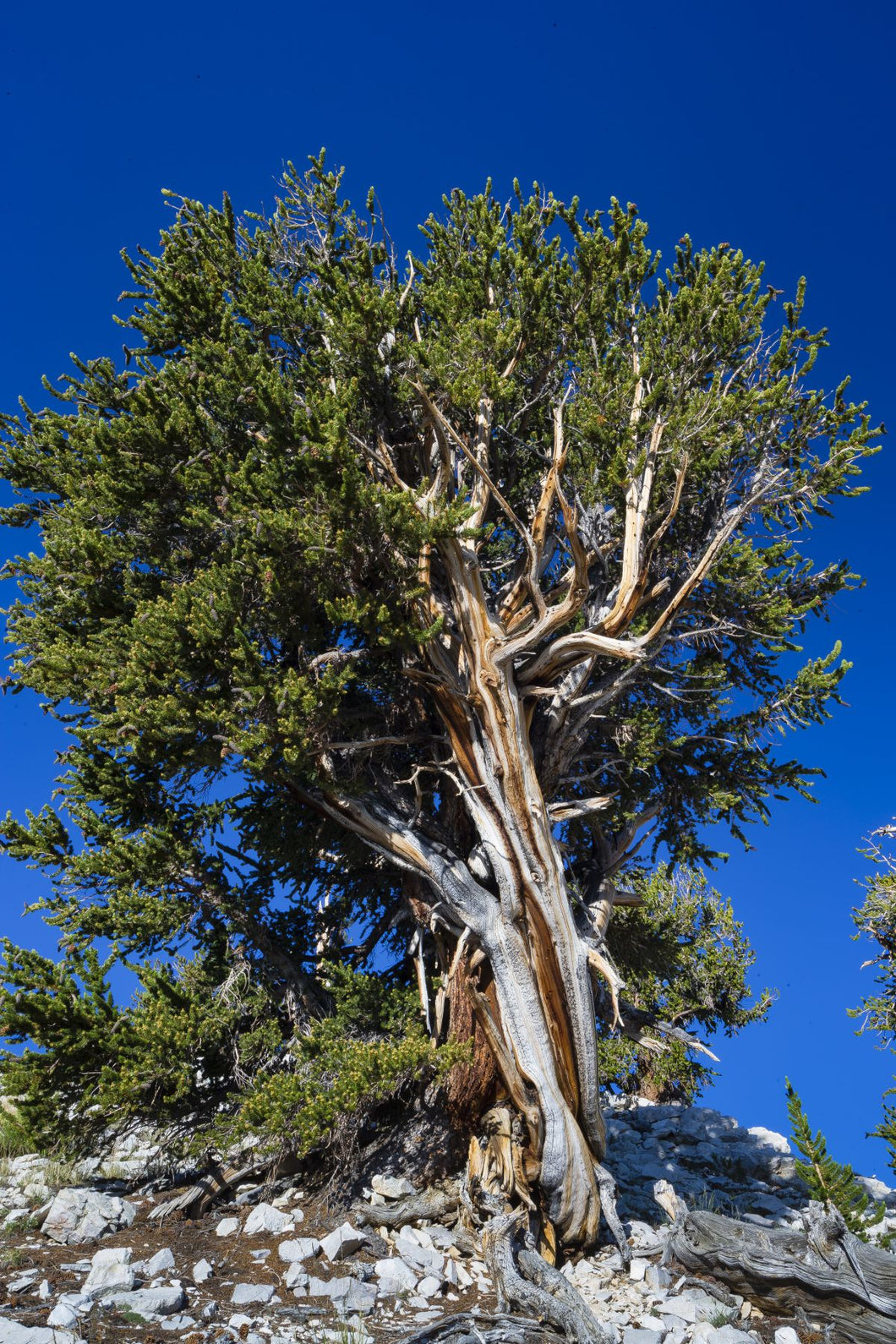 Low angle view of pine tree in Ancient Bristlecone Pine Forest in the White Mountains, Inyo County, California, USA