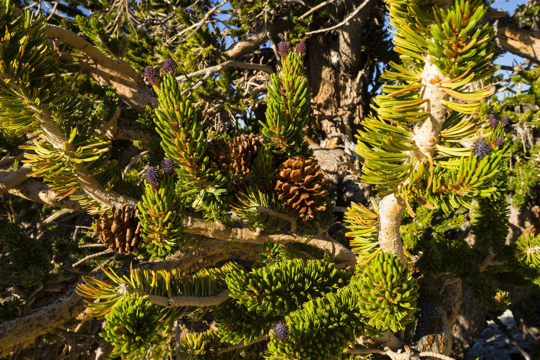 Pine cones growing on a twigs, Ancient Bristlecone Pine Forest, White Mountains, Inyo County, California, USA