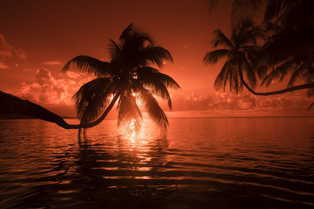 Palm trees at sunset, Moorea, Tahiti, French Polynesia