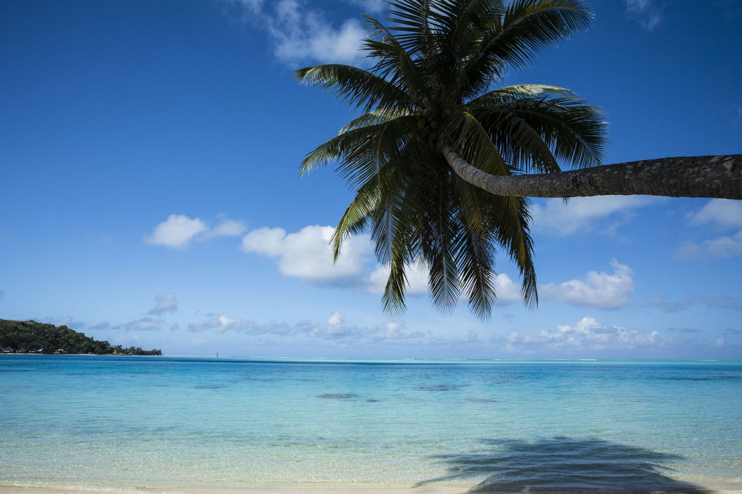 Palm tree on the beach, Bora Bora, Society Islands, French Polynesia