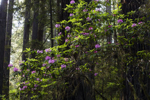 Close-up of Redwood trees in a forest, Del Norte Coast Redwoods State Park, California, USA