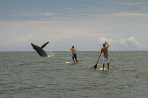 Paddle boarders and Humpback Whale (Megaptera novaeangliae) in the Pacific Ocean, Nuqui, Colombia