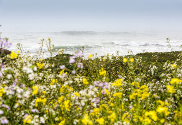 Wildflowers and the coastline in the fog near Davenport, California, USA
