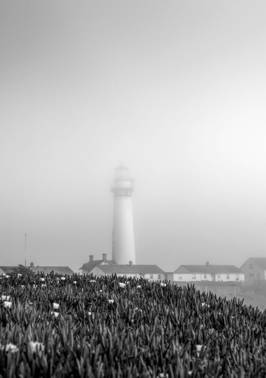 Flowering tulip plants with Pigeon Point Lighthouse in the fog, near Pescadero, California, USA