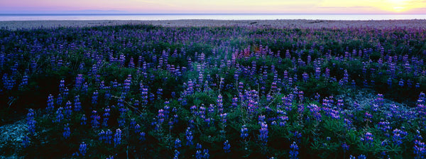 Wildflowers at the coast, Portuguese Bend, Palos Verdes, California, USA