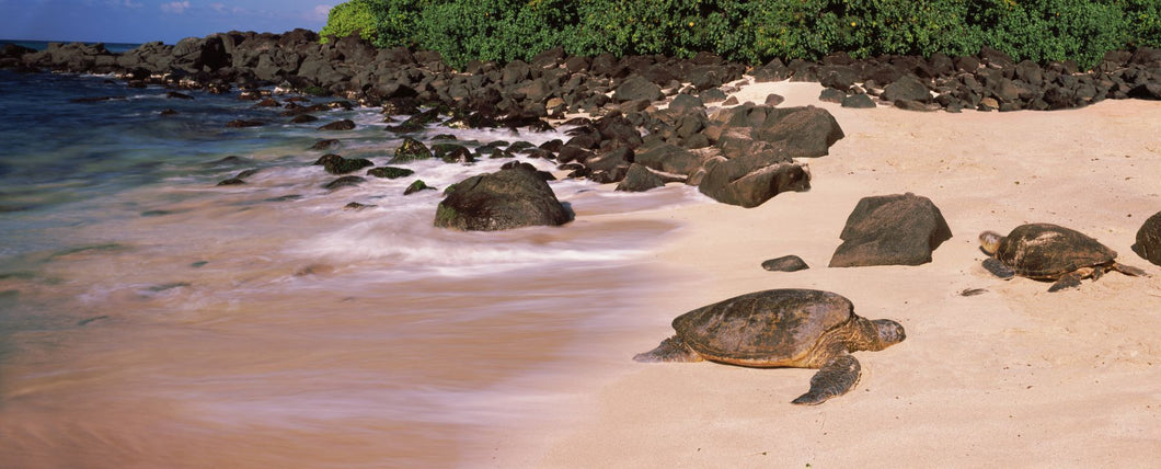 Turtles on the beach, Oahu, Hawaii, USA