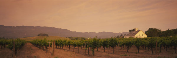 Trees In A Vineyards, Napa Valley, California, USA