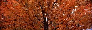Maple tree in autumn, Vermont, USA
