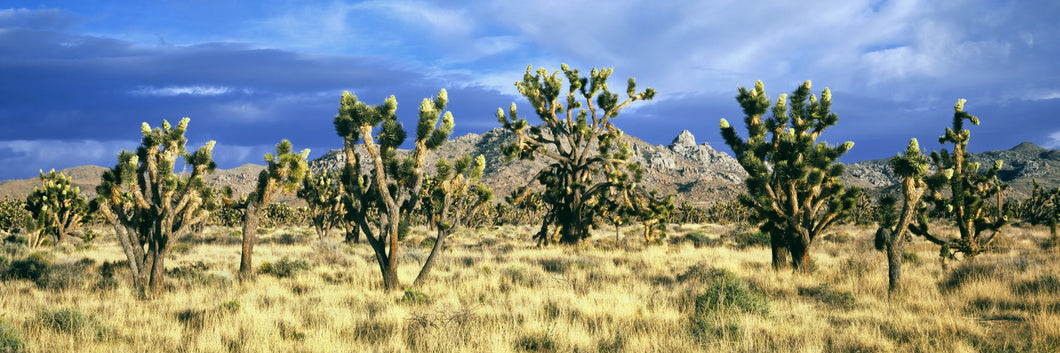 Joshua trees in the Mojave National Preserve, Mojave Desert, San Bernardino County, California, USA