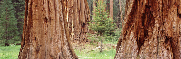 Sapling among full grown Sequoias, Sequoia National Park, California, USA