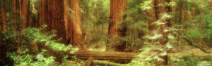 Muir Woods, Trees, National Park, Redwoods, California
