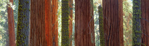 Sequoia Grove Sequoia National Park California USA
