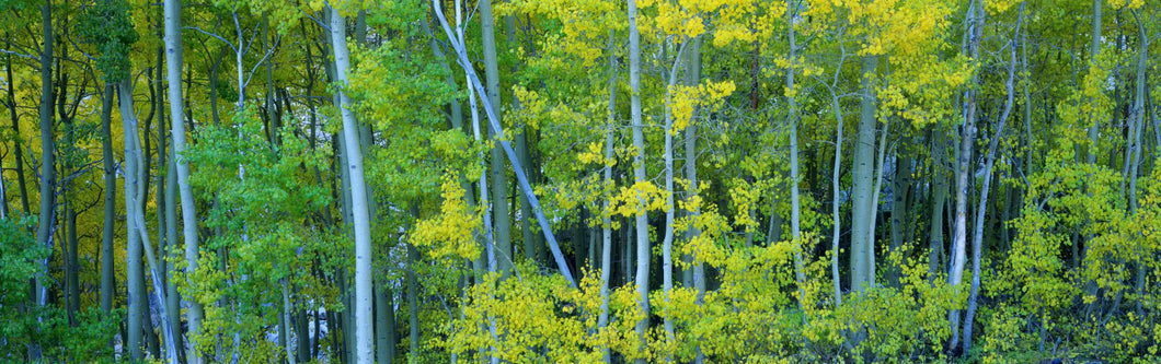 Aspen trees in a forest, Bishop, California, USA