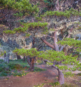 Pines with hanging lichens, Pacific Coast, Brookings, Curry County, Oregon, USA