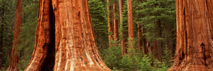 Giant sequoia trees in a forest, California, USA