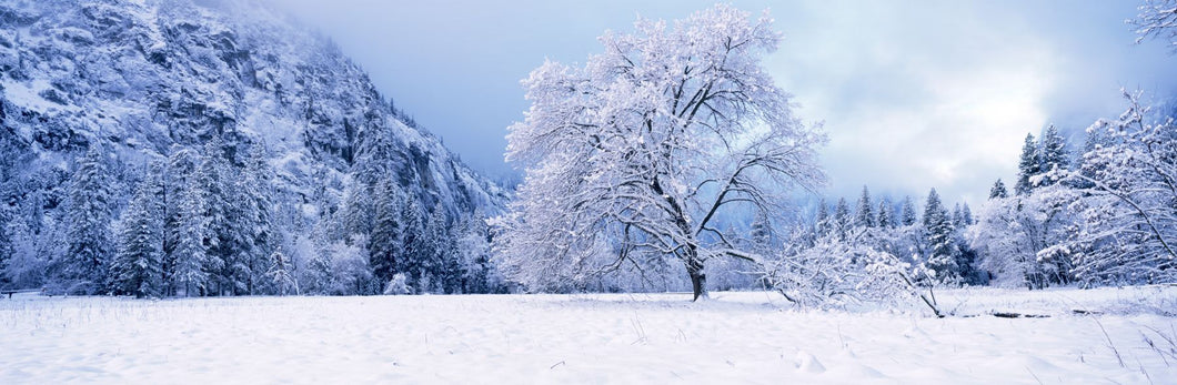 Snow covered oak trees in a valley, Yosemite National Park, California, USA