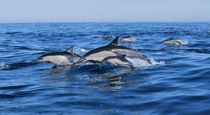 Common dolphins breaching in the sea