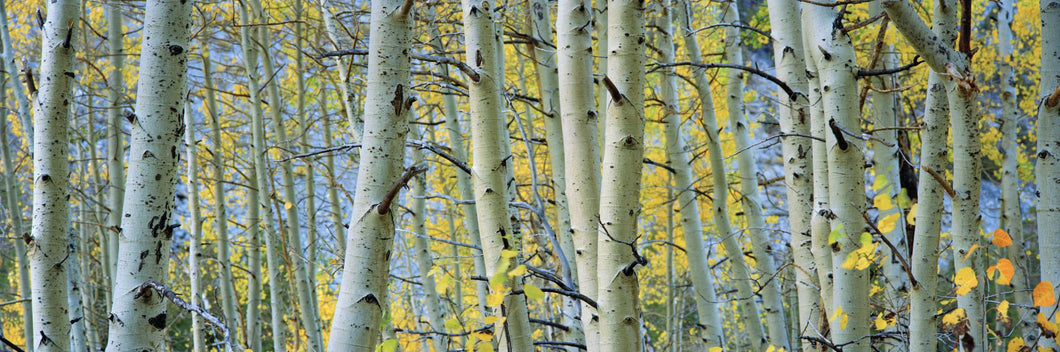 Aspen trees in a forest, Rock Creek Lake, California, USA