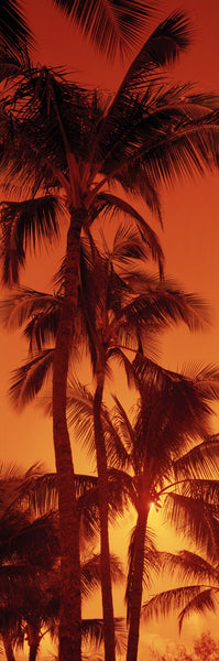 Low angle view of palm trees at dusk, Kalapaki Beach, Kauai, Hawaii, USA