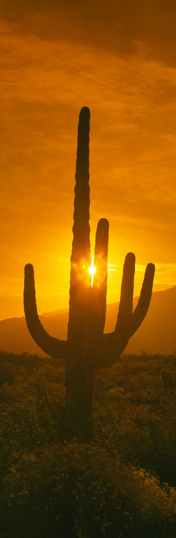 Saguaro cactus (Carnegiea gigantea) in a desert at sunrise, Arizona, USA