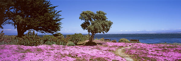 Flowers on the beach, Pacific Grove, Monterey County, California, USA