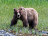 Brown Bear, Glacier Bay NP, Alaska