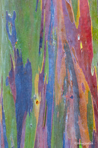 Colorful Bark, Rainbow Eucalyptus, Kauai, HI