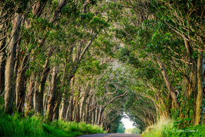 Eucalyptus Tree Tunnel, Kauai, HI
