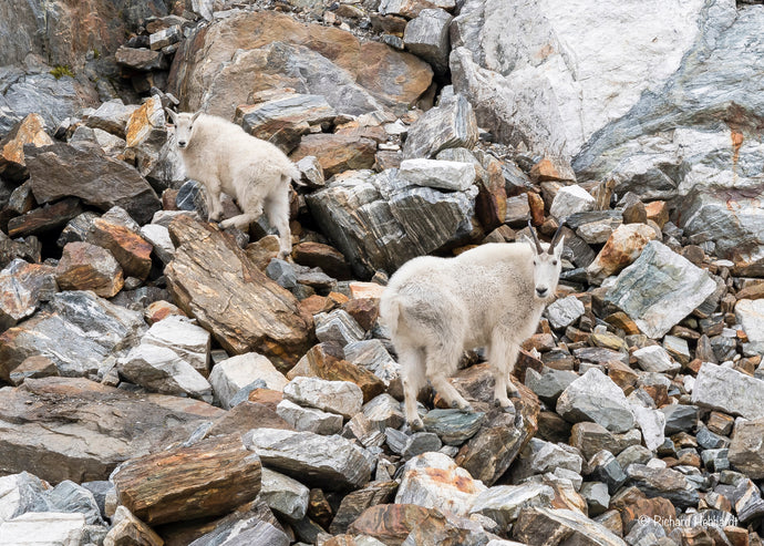 Mountain Goat & Kid, Tracy Arm Fjord, SE Alaska