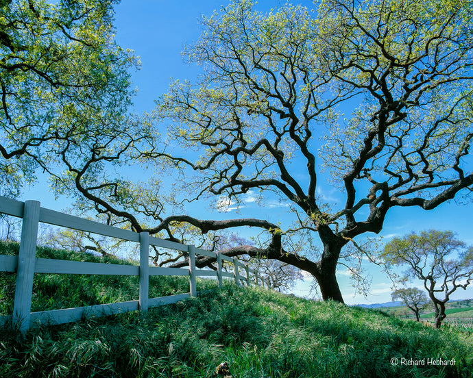 Oaks & Fence, Santa Ynez Valley, CA