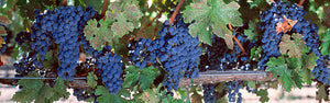 USA, California, Napa Valley, grapes