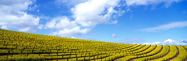 Mustard Fields, Napa Valley, California, USA