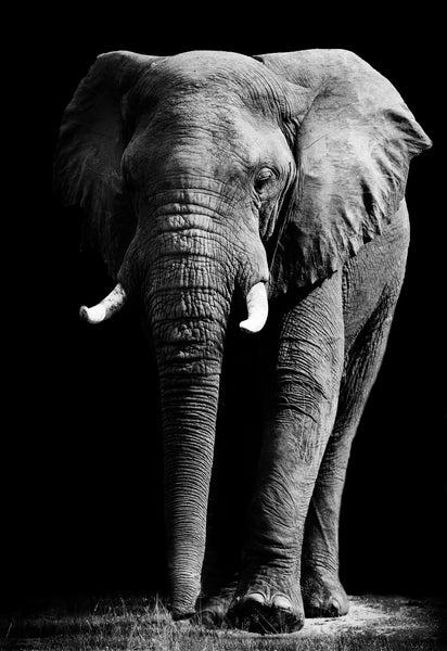 ELEPHANT FRONT BLACK & WHITE