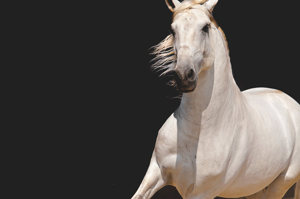 White Horse Black Background in Motion