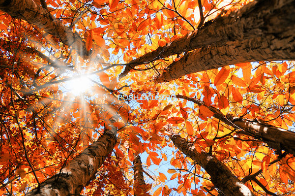 RED GOLDEN LEAVES FROM BELOW