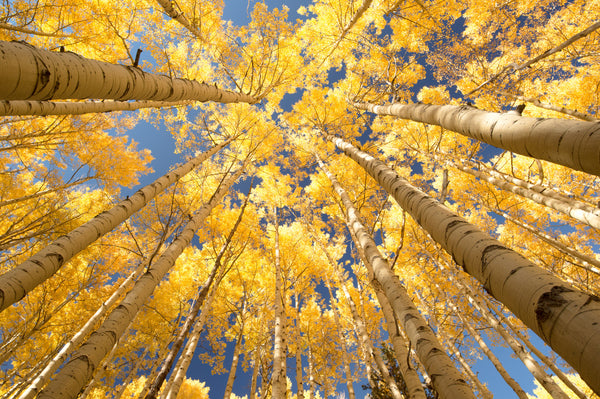 Yellow Quaking Aspens, Colorado
