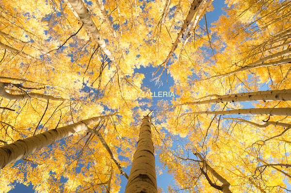 YELLOW LEAVES AMONG BLUE SKY