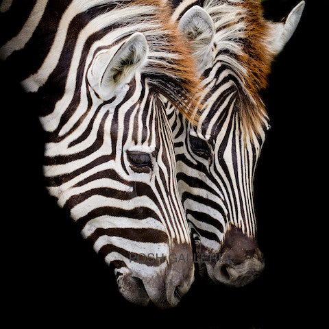 TWO ZEBRAS ON BLACK BACKGROUND